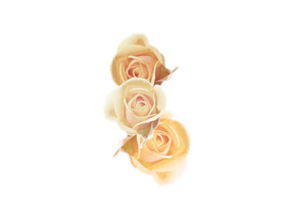 roses - photo